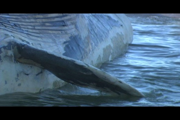 blue whale at Bean Hollow State Beach