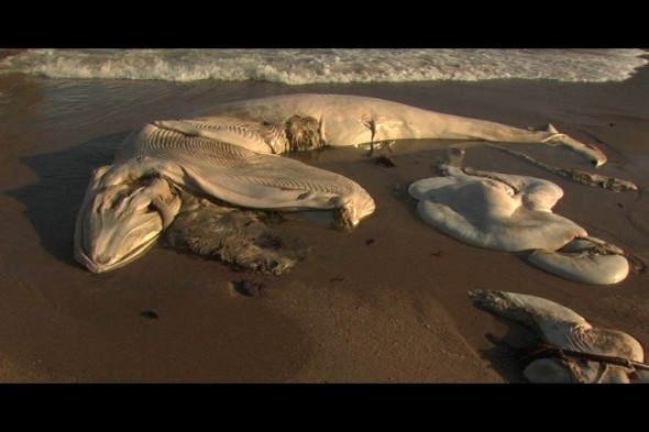 The fetus of the blue whale at Bean Hollow State Beach