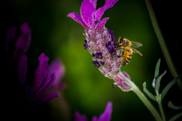 Honey bee pollinating lavender plant by Peter Giordano courtesy Creative Commons