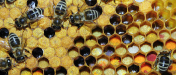 The bugs that can save the bees