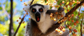 Why saving lemurs will save this country's rainforests