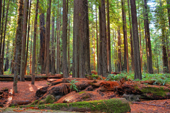 redwood_forest