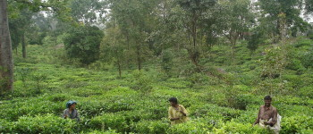 Are small farms in India the key to taking tea organic?