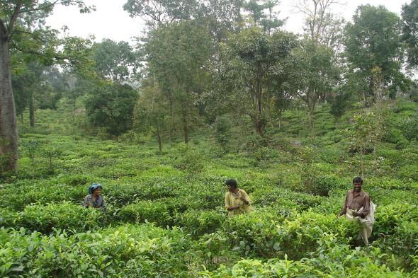 EcoTeas organic tea plantation