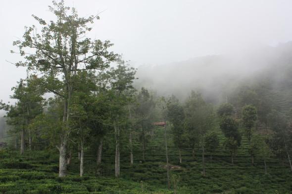 EcoTeas plantation, Kotagiri, Tamil Nadu, India
